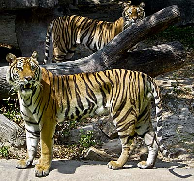 Indochinese Tiger Couple