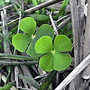 More Shamrocks with four leaves by Asienreisender