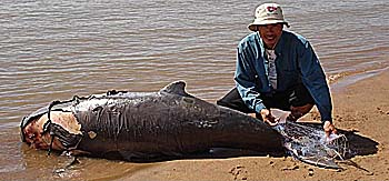 Irrawaddy Dolphin died in a Fishing Net