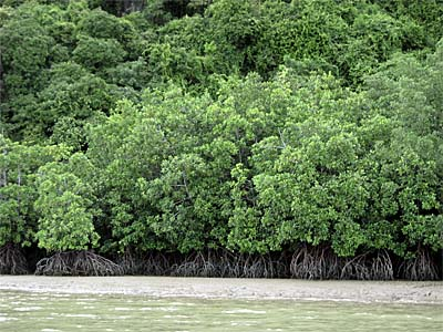 Mangrove Forest along the Andaman Coast at Krabi, Thailand, by Asienreisender
