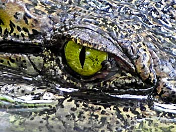 Crocodile Eye by Asienreisender
