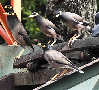 A Group of Common Mynas at a Waste Disposal Site in Satun / Thailand by Asienreisender