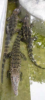 Crocodiles in Bangkok's Dusit Zoo by Asienreisender
