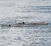 Irrawaddy Dolphins by Asienreisender