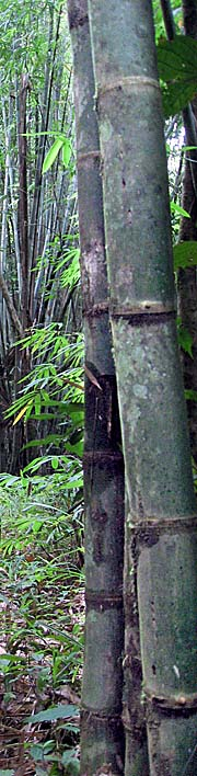 'Bamboo in Khao Sok National Park' by Asienreisender