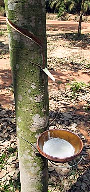 'Scratched Rubber Bark in a Rubber Plantation' by Asienreisender