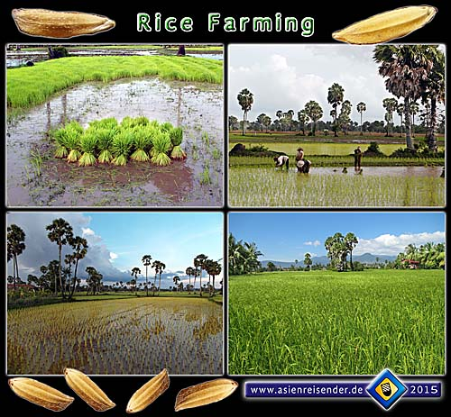 'Rice Farming in Cambodia- Collage' by Asienreisender