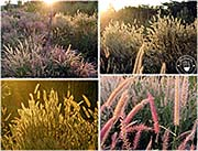 'Grasses at the Roadside in O'Smach' by Asienreisender