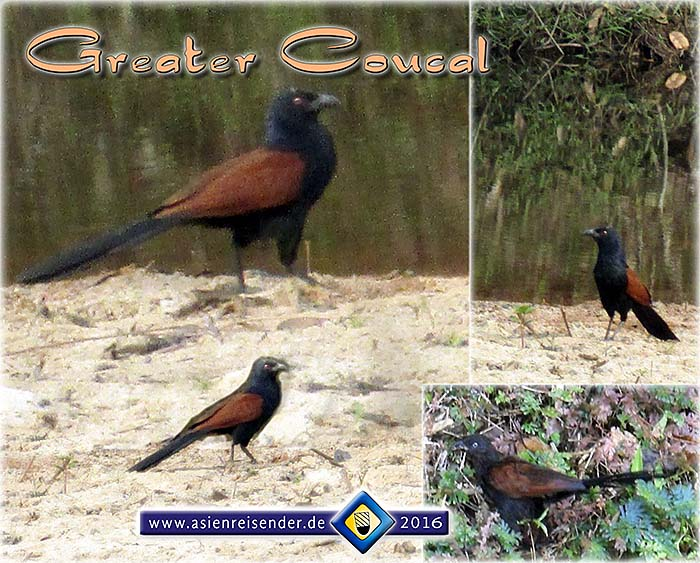 'Greater Coucal' by Asienreisender