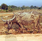 'A Water Buffalo, Covered in Mud' by Asienreisender
