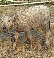 'A Water Buffalo Calf, Covered in Mud' by Asienreisender
