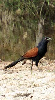 'A Greater Coucal' by Asienreisender