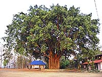 'A Large Bodhi Tree' by Asienreisender