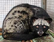 'A Civet Cat' by Asienreisender