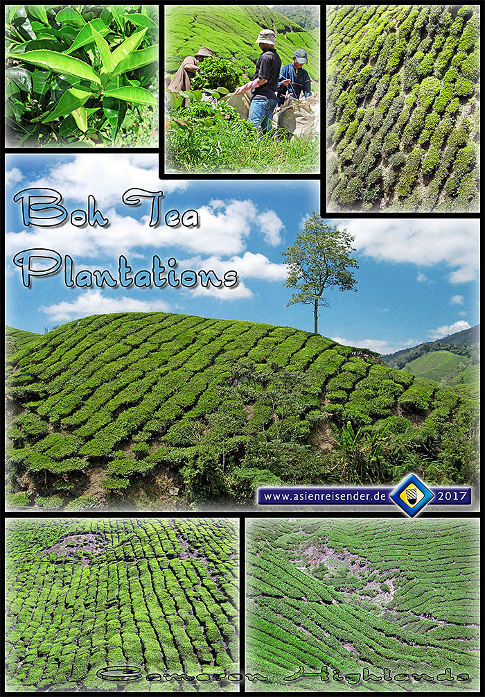 'Boh Tea Plantations | Cameron Highlands | Malaysia' by Asienreisender