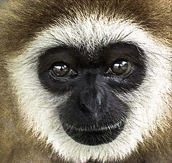 'Face of a Gibbon Ape' by Asienreisender