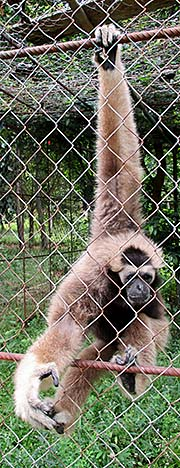 'A pileated gibbon in Teuk Chhou Zoo | Kampot | Cambodia' by Asienreisender