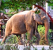 'A Working Elephant in the Tourist Industries of Si Satchanalai' by Asienreisender