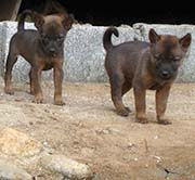 'Puppies in a White Karen Village called Muang Noi' by Asienreisender