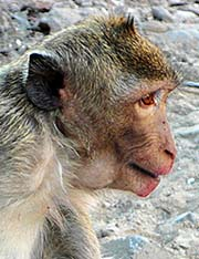 'Face of a Macaque' by Asienreisender